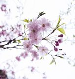 Flower, Blossom, Branch, Cherry Blossom stock photos