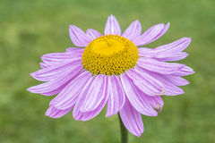 Flower blossom. Close up image of a garden flower Royalty Free Stock Photo