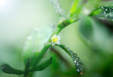 Flower Blossom  with Drops of Dew Royalty Free Stock Image