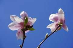 Flower, Blossom, Flowering Plant, Plant royalty free stock images