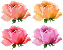 Flower blossom full bloomed roses hand painted water color illustration on a white background. Roses beautiful artistic floral pastel colors painted on a white Royalty Free Stock Images