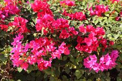 The red Bush bougainvillea blooms Stock Photos