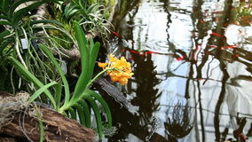 Flower blossom leaning over fishpond stock video footage