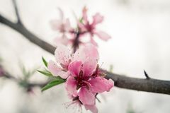 Flower, Blossom, Pink, Branch stock photo