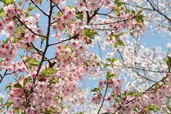 Flower, Blossom, Pink, Branch royalty free stock images