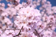 Flower, Blossom, Pink, Cherry Blossom royalty free stock image