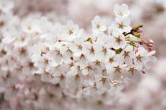Flower, Blossom, Pink, Cherry Blossom stock photography