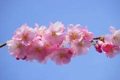 Flower, Blossom, Pink, Cherry Blossom stock image