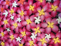 Flower blossom. Pink flower blossom flotation in water stock images