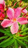 Flower blossom during Rainy Season. Beauty in nature royalty free stock photo