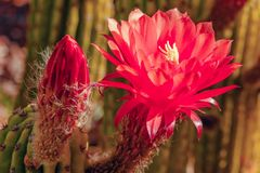 Flower blossomed cactus in the garden Stock Image