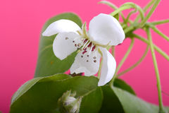 Flower on blossoming apple tree close up in spring Royalty Free Stock Image