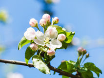 Flower on blossoming apple tree close up in spring Stock Photos