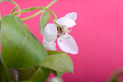 Flower on blossoming apple tree close up in spring Royalty Free Stock Photo