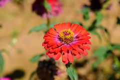 Flower blossoming in the graden. Red flower blossoming in the graden royalty free stock photography