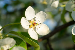 Flower blossoming pear close up. Aromatic blossoming pear branches closeup Royalty Free Stock Image