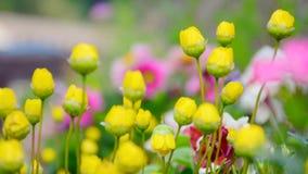 Flower blown by wind. Yellow Tulip flowers blown by wind stock footage