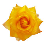 Flower-blown yellow roses Royalty Free Stock Photos