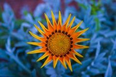 Flower on blue. Gazania on vivid blue background Royalty Free Stock Images