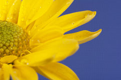 Flower on blue background. Yellow flower on blue background Royalty Free Stock Photo