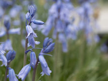 Flower blue bell Royalty Free Stock Photo