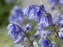 Flower blue bell Stock Images