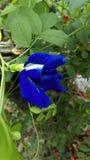 Flower. Blue Butterfly pea flower in the gerden Stock Photo