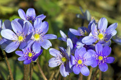 Flower Blue copse or pechenocna (Hepatica nobilis) Royalty Free Stock Image