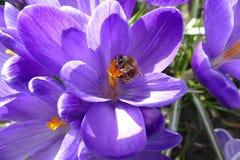 Flower, Blue, Crocus, Honey Bee Royalty Free Stock Photos