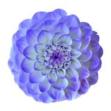 Flower blue cyan dahlia isolated on white background. Close-up. Element of design. Nature royalty free stock photos