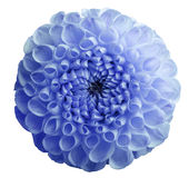 Flower  blue dahlia. Dew on petals.  White isolated background with clipping path. Closeup. Stock Images