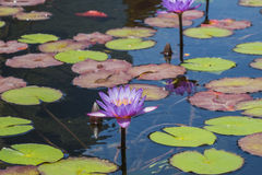 Flower of blue Egyptian lotus. In a pond Nymphaea caerulea stock photo