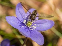 Flower, Blue, Flora, Honey Bee Royalty Free Stock Images