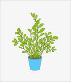 Flower in flowerpot. House plant in blue flowerpot on the white background Royalty Free Stock Image