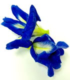 Flower. Blue flowers on the white background Stock Image