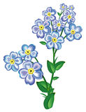 Flower blue forger-me-not Royalty Free Stock Images
