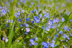 Flower blue on green grass Royalty Free Stock Image
