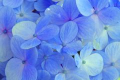 Flower, Blue, Hydrangea, Flowering Plant royalty free stock photography