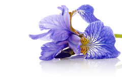 Flower of a blue iris. Royalty Free Stock Image