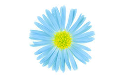 Flower blue isoalted Royalty Free Stock Image