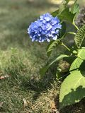 Flower. Blue flower with leaves and ground in background royalty free stock image