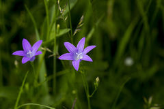 Flower blue. In Lepsa, Romania Royalty Free Stock Photography