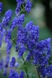 Flower blue monkshood Stock Images