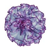 Flower blue-pink carnation  on a white isolated background with clipping path.   Closeup.  No shadows.  For design. Royalty Free Stock Image