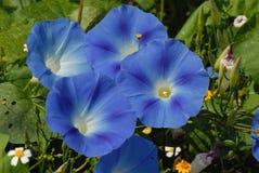 Flower, Blue, Plant, Flowering Plant stock images