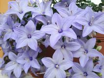 Flower, Blue, Plant, Flowering Plant royalty free stock photo