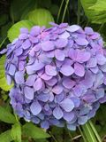 Flower, Blue, Plant, Hydrangea royalty free stock images