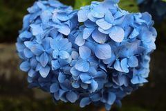 Flower, Blue, Plant, Hydrangea royalty free stock photography