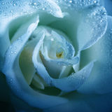 Flower blue rose with morning dew Stock Photo