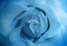 Flower blue rose with morning dew Stock Photos